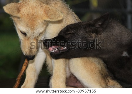 two wolves playing - stock photo