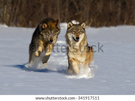 Two wolves running in snow towards camera  - stock photo