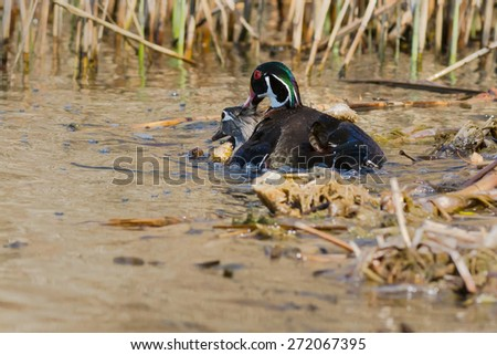 Two Wood Ducks mating at the edge of the pond. - stock photo