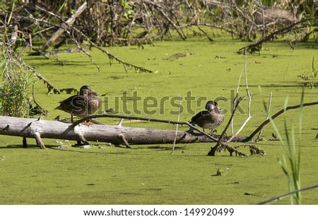 Two wood ducks on log in Fernan Lake, Idaho. - stock photo