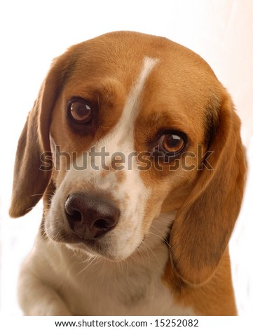 two year old male beagle on white background