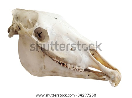 Two Year Old Mare's Skull with Parrot Mouth isolated with clipping path - stock photo