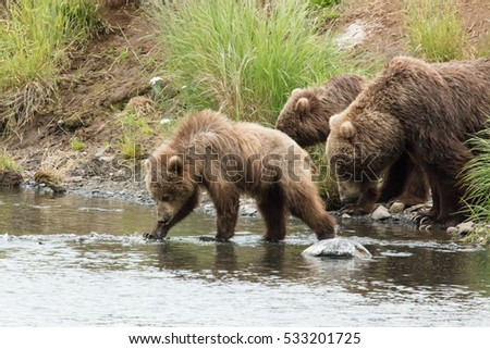 two yearling kodiak brown bears  enter a river followed by their mother