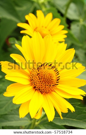 Two yellow arnica flowers among green leaves in the garden - stock photo