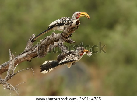 Two Yellow-billed hornbill Tockus flavirostris, adult feeds juvenile with large insect, perched on dead tree in eye level. Spotted feather, soft light, green blurred background, South Africa.   - stock photo