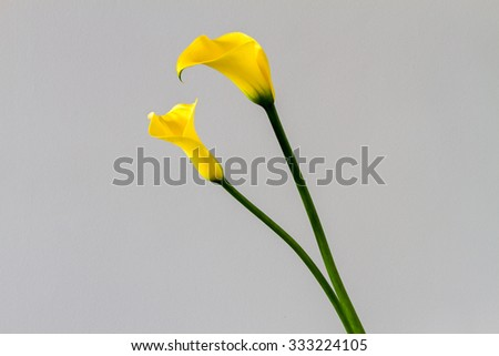 Two yellow calla lily isolated over light grey background - stock photo