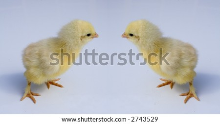 Two yellow chicks in business meeting on a blue background