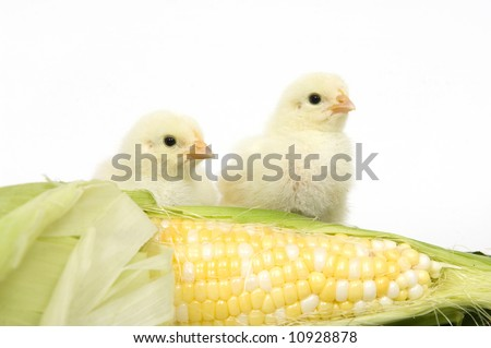 Two yellow chicks stand next to a fresh ear of corn on a white background