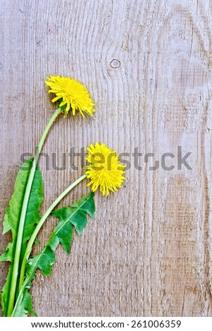 Two yellow dandelion flower with green leaves on a background of the old board - stock photo