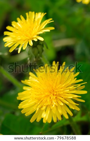 Two yellow dandelion flowers Taraxacum closeup - stock photo