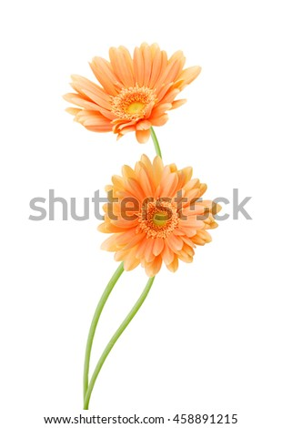 Two yellow Gerber flowers, daisies isolated on white - stock photo