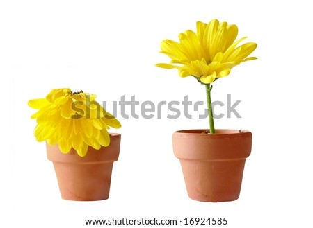 Two yellow gerbera daisies in clay pots. One daisy is perky and fresh, the other is dropping. Concept of opposing emotions or mood or life status or up versus down. Flowers are isolated on white. - stock photo