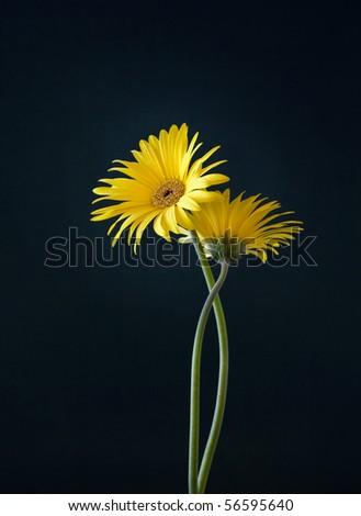 Two Yellow Gerberas on Dark Background - stock photo