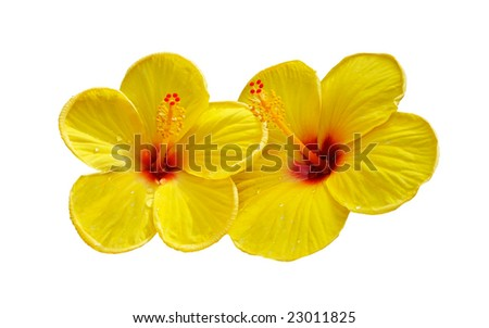 two yellow hibiscus flowers isolated on white background