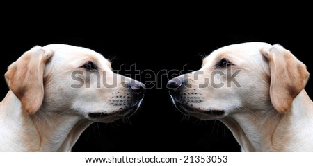 Two yellow labrador sisters looking at each other - stock photo