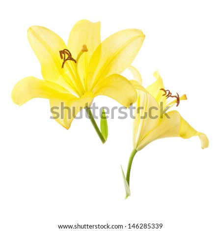 two yellow lilies isolated on white background - stock photo
