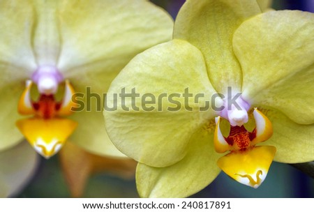 Two Yellow Orchids - stock photo