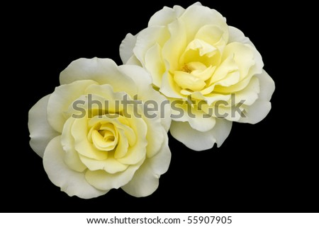 Two Yellow Roses against a black background - stock photo