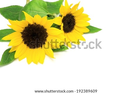 Two yellow sunflowers are next to some green leaves. - stock photo