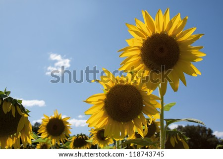 Two yellow sunflowers (Helianthus annuus) with a blue sky background. - stock photo