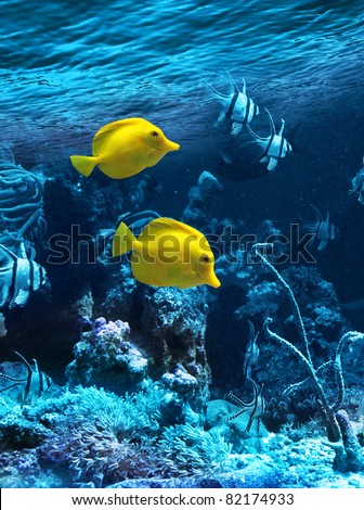 Two yellow tropical fishes in blue coral reef sea water aquarium - stock photo