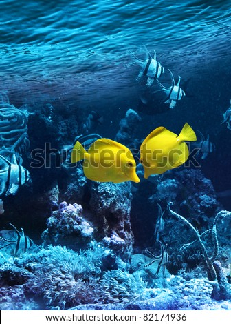 Two yellow tropical fishes meet in blue coral reef sea water aquarium - stock photo