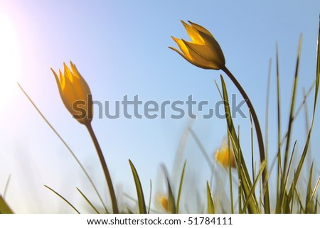 Two yellow tulip on cloudless sky background - stock photo
