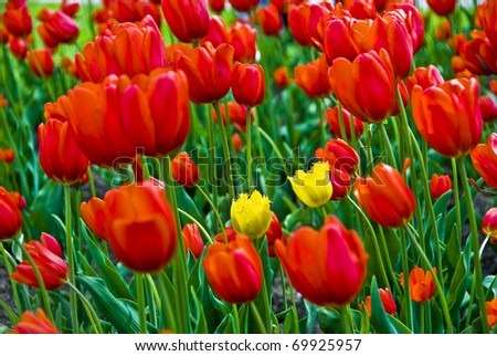 Two yellow tulips in a sea of red - stock photo