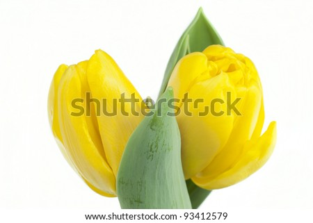 two yellow tulips on white