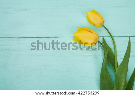 Two yellow tulips on wooden light blue background. Easter, March 8, valentines day, mothers day, copy space, close up - stock photo