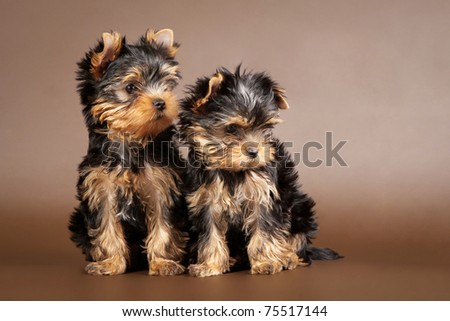 Two yorkie puppies on brown background - stock photo