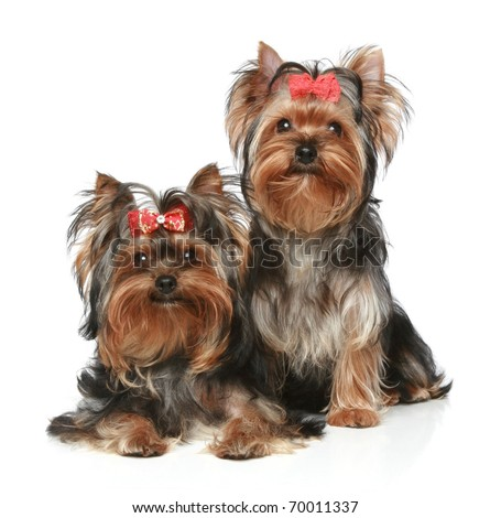 Two Yorkshire Terrier Puppies on a white background - stock photo