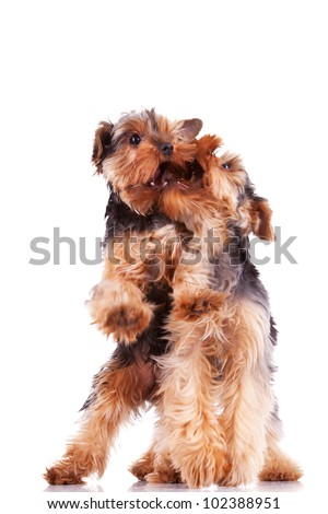 two yorkshire terrier puppy dogs playing and biting each other on white background - stock photo
