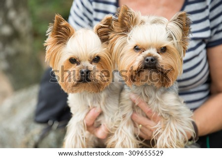 Two Yorkshire Terriers - stock photo
