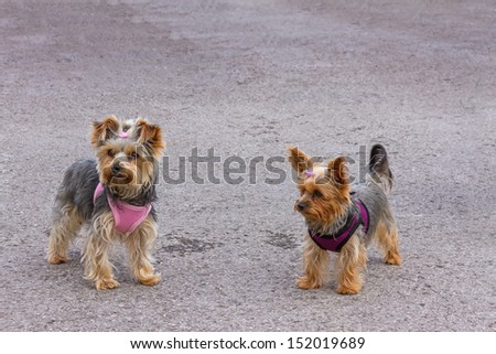 Two Yorkshire Terriers Outdoors - stock photo