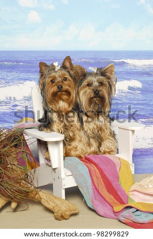Two Yorkshire Terriers sitting on a beach chair near the water - stock photo