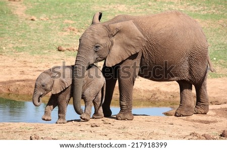 Two young African elephants at the water hole - stock photo