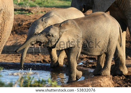 Two young African elephants drinking at a water hole - stock photo