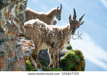 Two young alpine ibex (lat. Capra ibex) on Brienzer Rothorn, Switzerland - stock photo