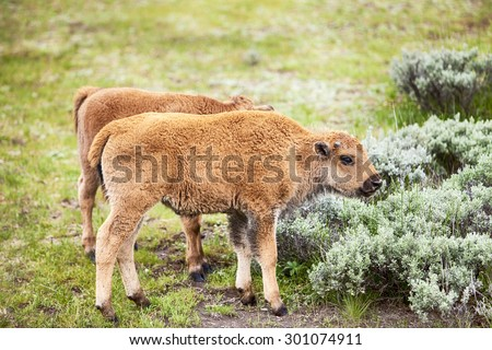 Two young American bison, or buffalo, calves are grazing in a meadow in Yellowstone National Park in Wyoming.