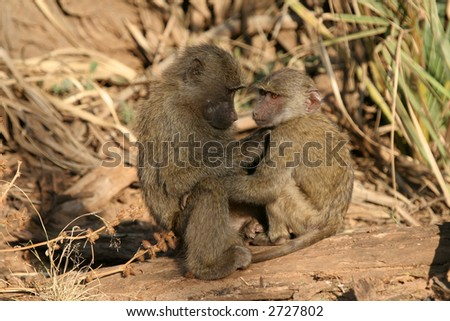 Two young baboon siblings sitting together grooming - stock photo
