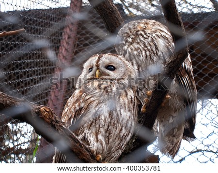 Two Young Barred Owls - stock photo