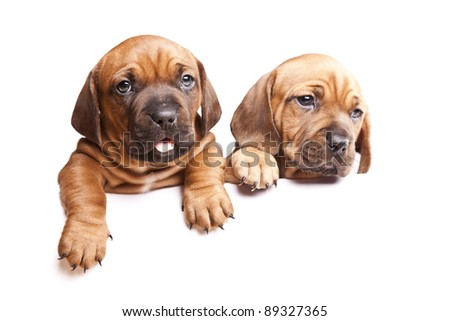 Two young, beautiful dogs send a message! - stock photo