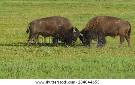 Two young Bison practice fighting. - stock photo