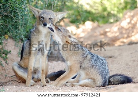 Two young black backed jackals grooming each other - stock photo