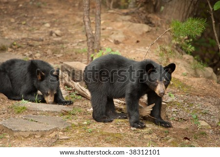 two young black bear siblings - stock photo