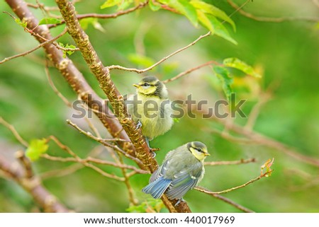 Two young Blue tit fledglings, Cyanistes caeruleus / Parus caeruleus, sat in a tree waiting to be fed, Painswick, Gloucestershire, England, UK - stock photo