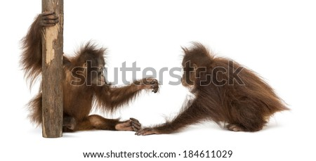 Two young Bornean orangutan playing together - stock photo