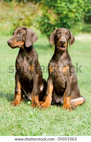two young brown doberman puppys sitting on the green grass - stock photo