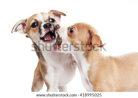 Two young Chihuahua crossbreed puppies play fighting and biting each other - stock photo
